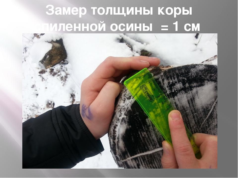 Замер толщины коры спиленной осины = 1 см