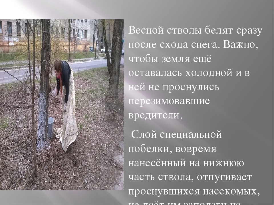 Весной стволы белят сразу после схода снега. Важно, чтобы земля ещё оставала...