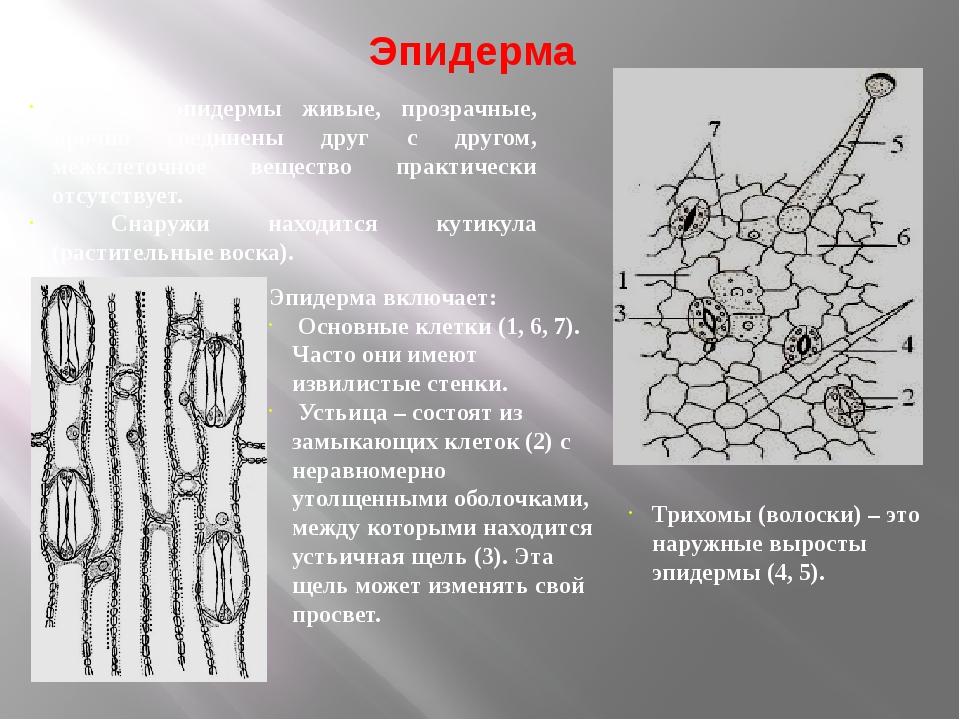 Эпидерма Клетки эпидермы живые, прозрачные, прочно соединены друг с другом, м...