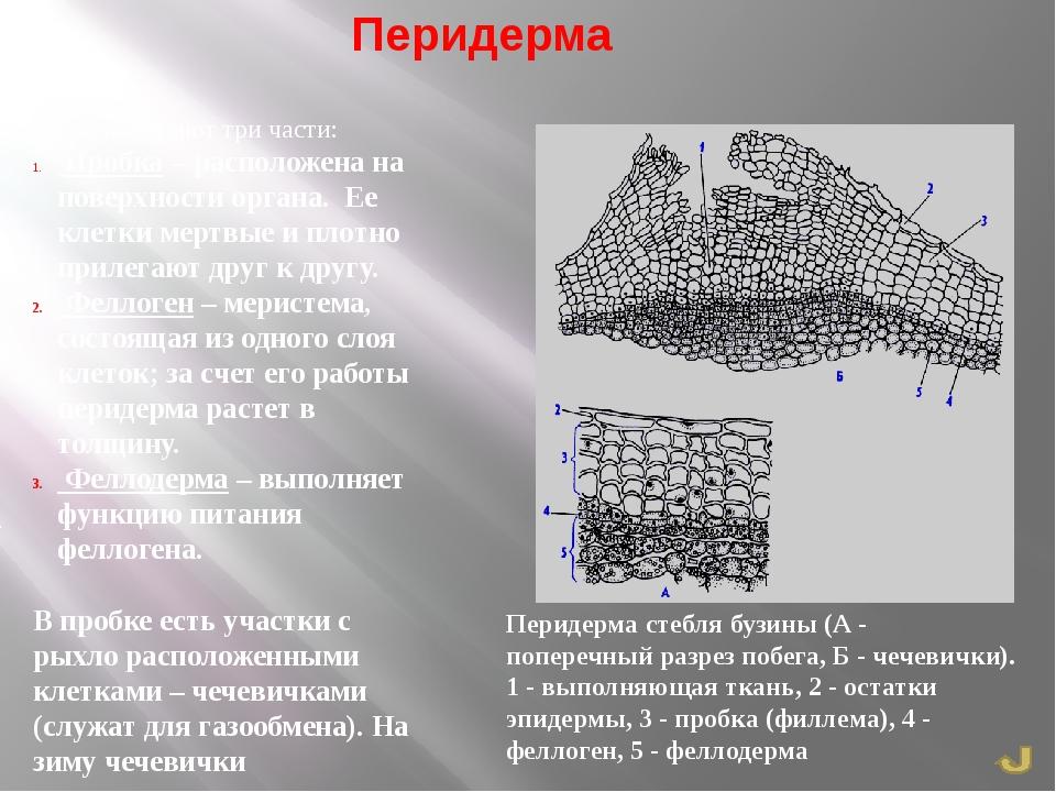 Перидерма я. Перидерма стебля бузины (А - поперечный разрез побега, Б - чечев...