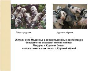 Миргородская Крупная чёрная Жители села Медвежье в своих подсобных хозяйствах