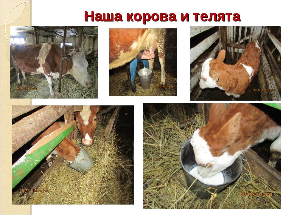 Наша корова и телята