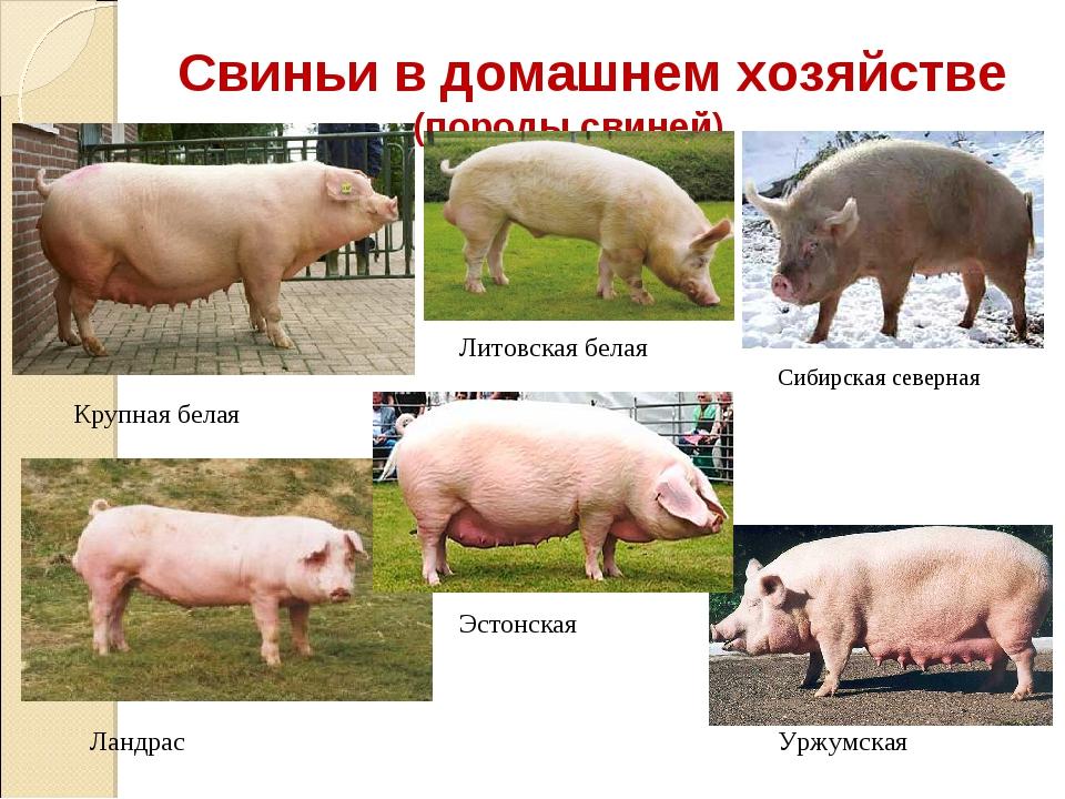 Свиньи в домашнем хозяйстве (породы свиней) Крупная белая Литовская белая Сиб...
