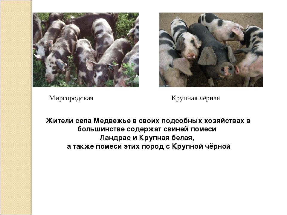 Миргородская Крупная чёрная Жители села Медвежье в своих подсобных хозяйствах...