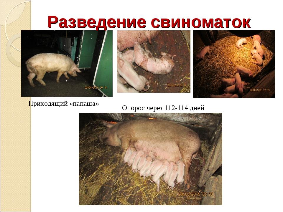Разведение свиноматок Приходящий «папаша» Опорос через 112-114 дней