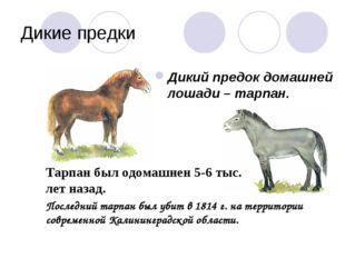 Дикие предки Дикий предок домашней лошади – тарпан. Тарпан был одомашнен 5-6