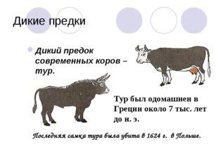Дикие предки Дикий предок современных коров – тур. Тур был одомашнен в Греции