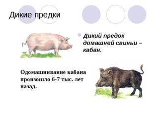 Дикие предки Дикий предок домашней свиньи – кабан. Одомашнивание кабана произ