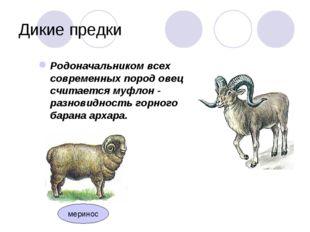 Дикие предки Родоначальником всех современных пород овец считается муфлон - р
