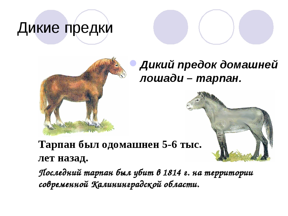 Дикие предки Дикий предок домашней лошади – тарпан. Тарпан был одомашнен 5-6...