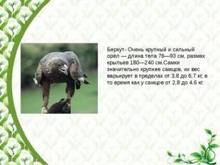 Беркут- Очень крупный и сильный орёл— длина тела 76—93см, размах крыльев 18