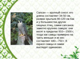 Сапсан— крупный сокол: его длина составляет 34-50см, размах крыльев 80-120