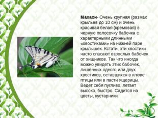 Махаон- Очень крупная (размах крыльев до 10 см) и очень красивая белая (кремо