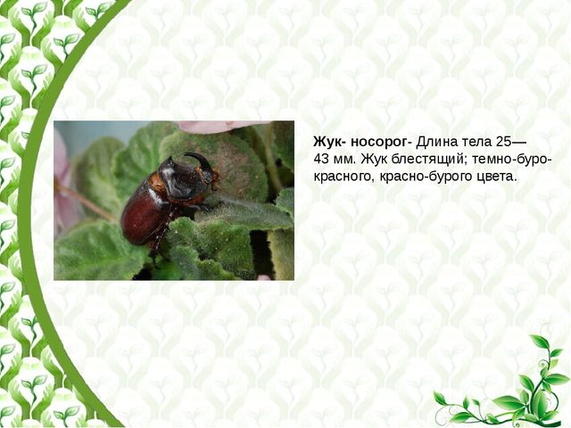Жук- носорог- Длина тела 25—43мм. Жук блестящий; темно-буро-красного, красно...
