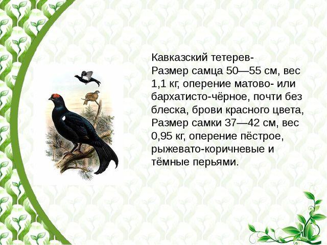 Кавказский тетерев- Размер самца 50—55см, вес 1,1кг, оперение матово- или б...