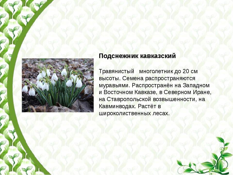 Подснежник кавказский Травянистый многолетник до 20 см высоты. Семена распрос...
