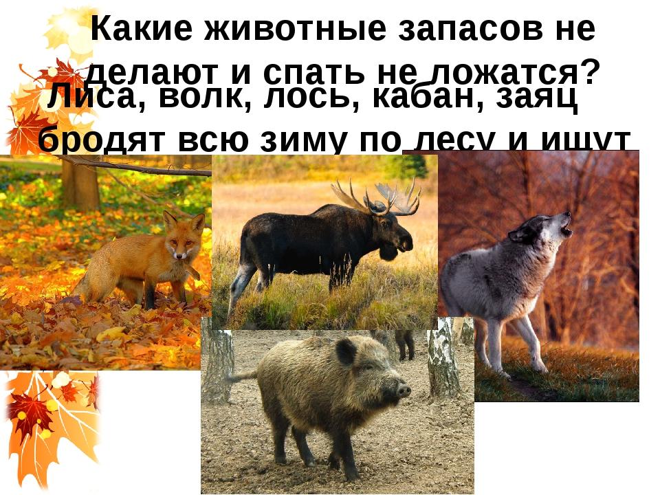 Какие животные запасов не делают и спать не ложатся? Лиса, волк, лось, кабан,...