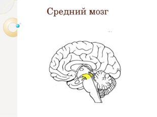 Средний мозг