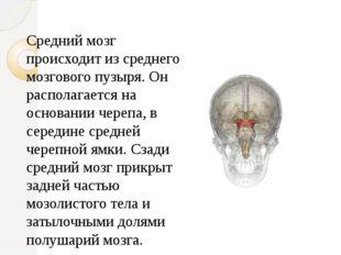 Средний мозг происходит из среднего мозгового пузыря. Он располагается на осн