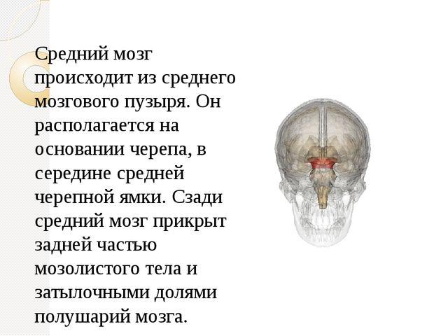 Средний мозг происходит из среднего мозгового пузыря. Он располагается на осн...