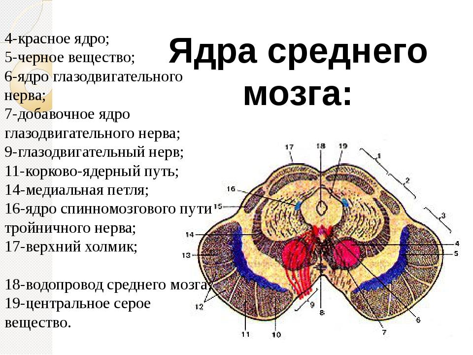 Ядра среднего мозга: 4-красное ядро; 5-черное вещество; 6-ядро глазодвигатель...