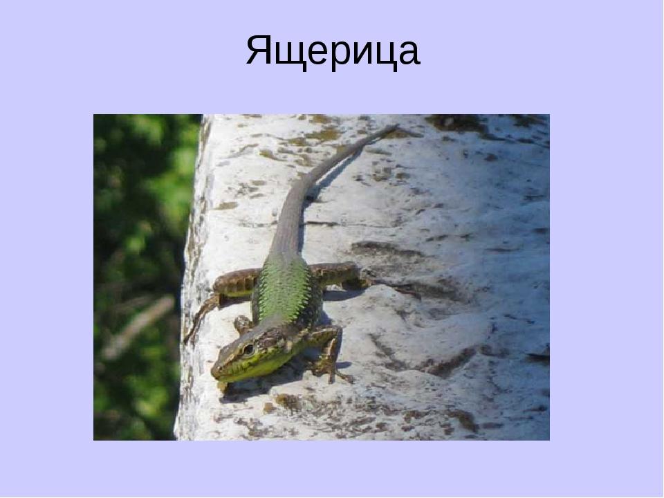 Ящерица