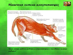Мышечная система млекопитающих Какие мышцы наиболее развиты у млекопитающих и