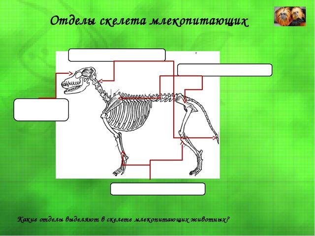 Отделы скелета млекопитающих Скелет головы Скелет туловища Скелет конечностей...