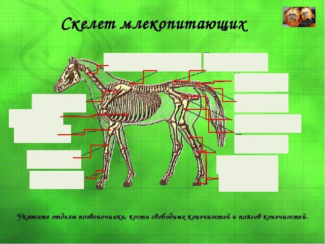 Скелет млекопитающих Укажите отделы позвоночника, кости свободных конечносте...