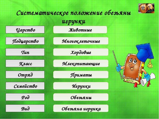 Систематическое положение обезьяны игрунки Царство Подцарство Тип Класс Отряд...