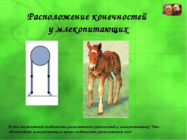 Расположение конечностей у млекопитающих В чём заключаются особенности распол...