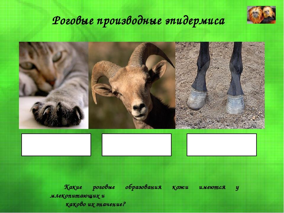 Роговые производные эпидермиса Когти Рога Копыта Какие роговые образования ко...