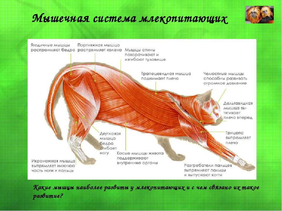 Мышечная система млекопитающих Какие мышцы наиболее развиты у млекопитающих и...