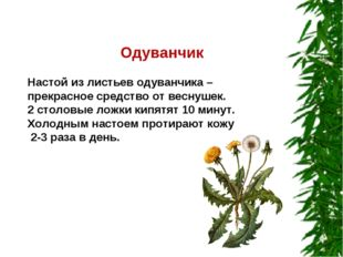 Одуванчик Настой из листьев одуванчика – прекрасное средство от веснушек. 2