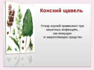 Конский щавель Отвар корней применяют при кишечных инфекциях, как вяжущее и з