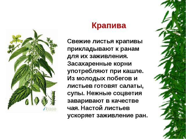 Крапива Свежие листья крапивы прикладывают к ранам для их заживления. Засаха...
