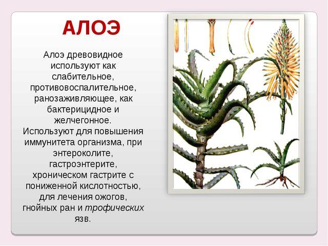 Алоэ древовидное используют как слабительное, противовоспалительное, ранозаж...