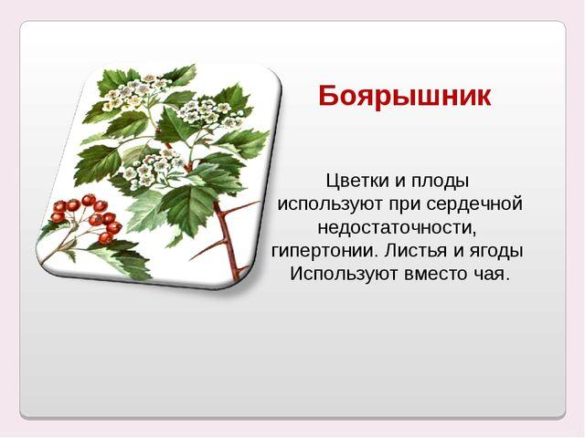 Боярышник Цветки и плоды используют при сердечной недостаточности, гипертонии...