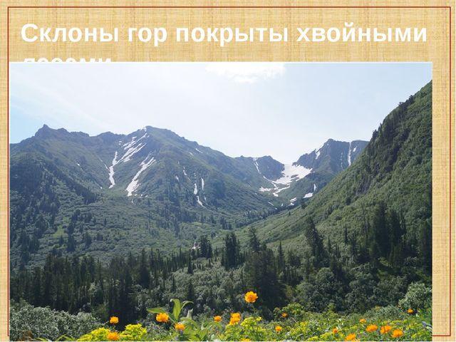 Склоны гор покрыты хвойными лесами.