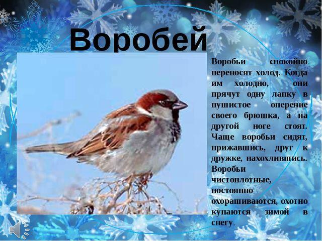 Воробей Воробьи спокойно переносят холод. Когда им холодно, они прячут одну...