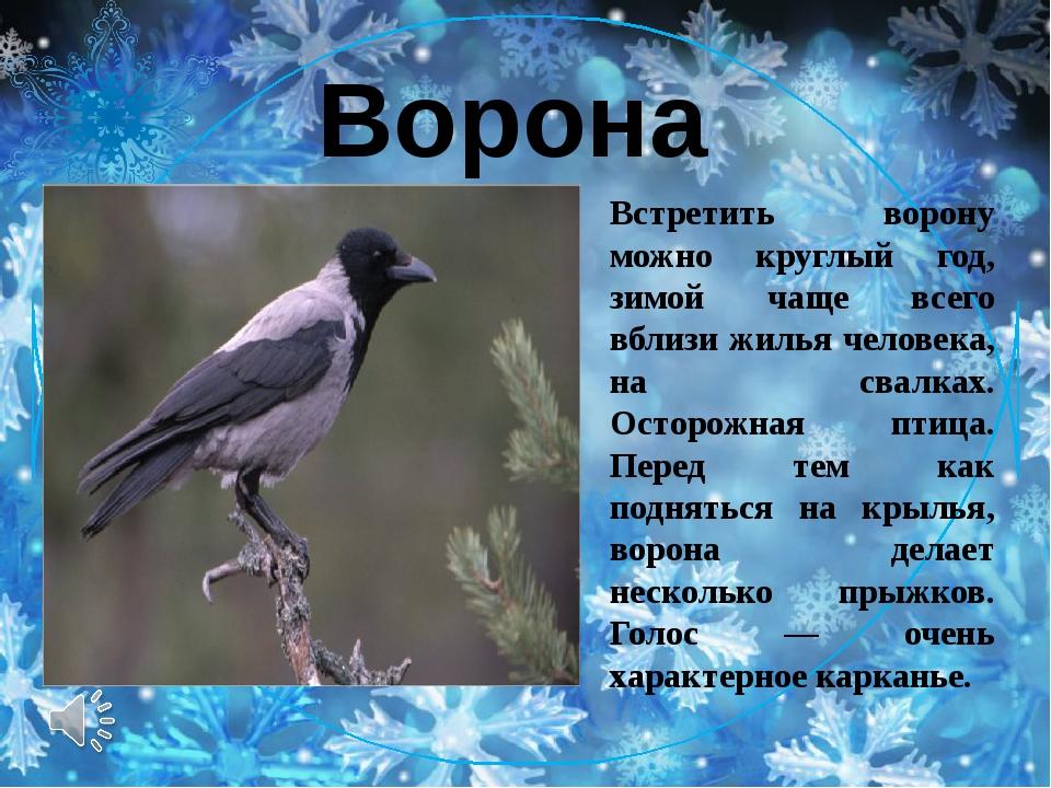 Ворона Встретить ворону можно круглый год, зимой чаще всего вблизи жилья чел...