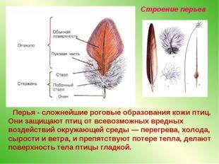 Перья - сложнейшие роговые образования кожи птиц. Они защищают птиц от всево
