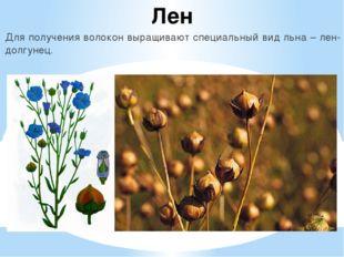 Лен Для получения волокон выращивают специальный вид льна – лен-долгунец.