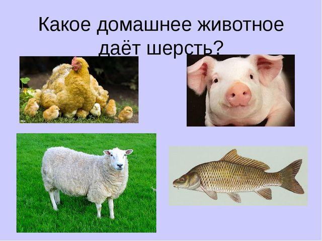 Какое домашнее животное даёт шерсть?