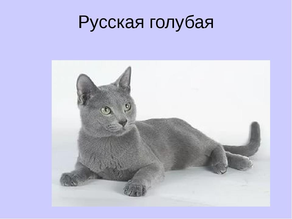 Русская голубая