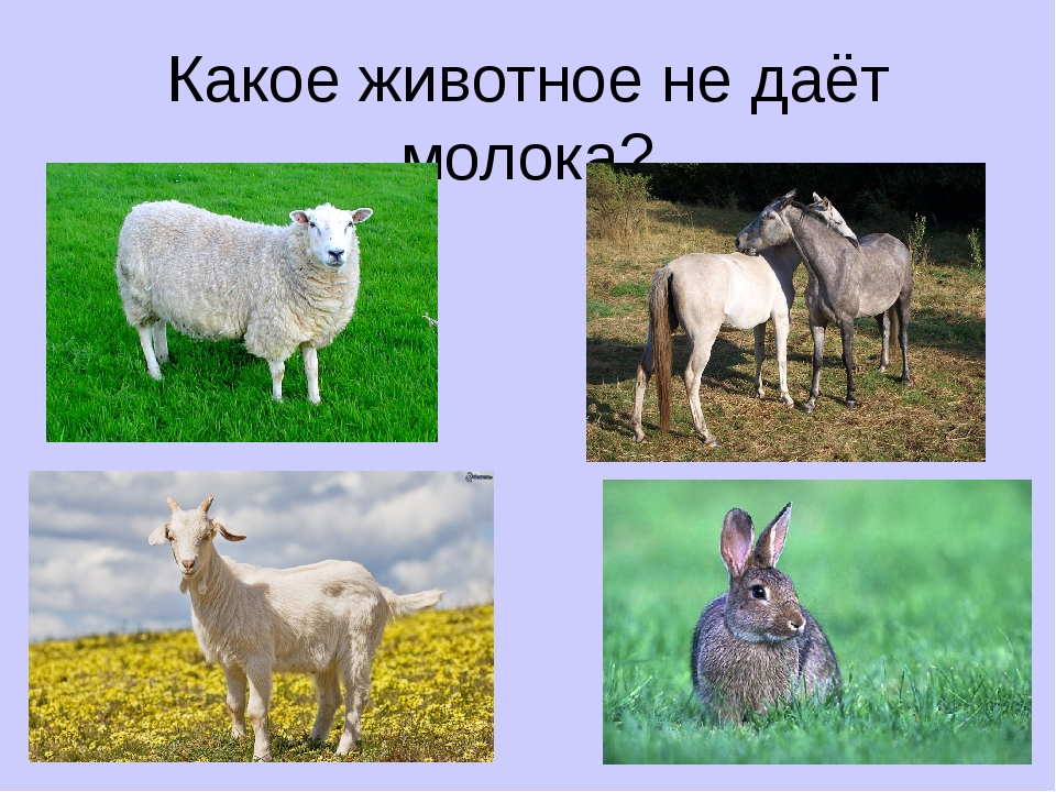 Какое животное не даёт молока?