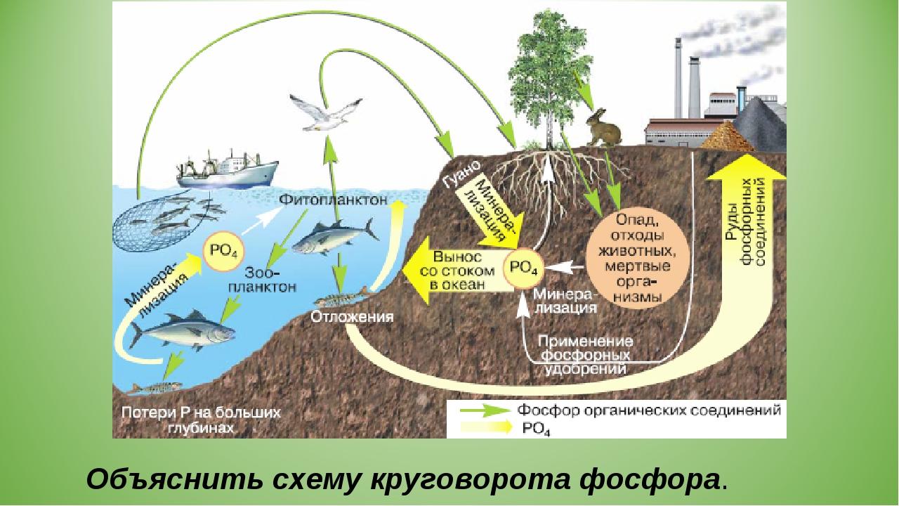 Объяснить схему круговорота фосфора.