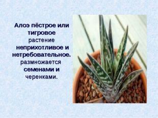 Алоэ пёстрое или тигровое растение неприхотливое и нетребовательное. размнож