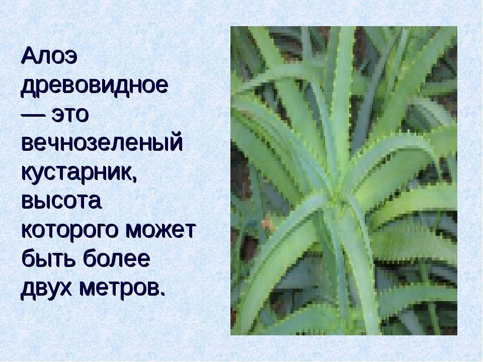 Алоэ древовидное — это вечнозеленый кустарник, высота которого может быть бол...