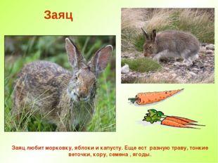 Заяц Заяц любит морковку, яблоки и капусту. Еще ест разную траву, тонкие вето